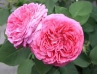 imagen La rosa damascena: una flor de aspecto delicado