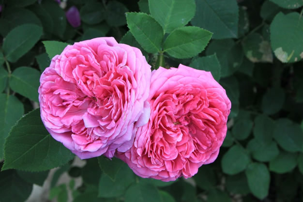 Rosa damascena 3