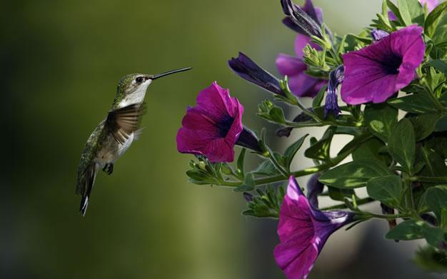 1-colibri