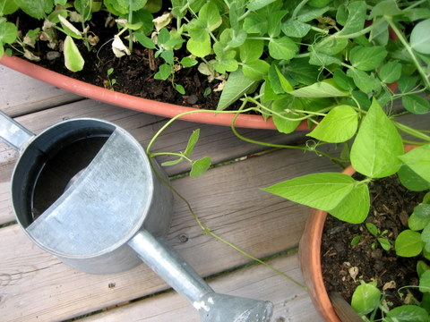 Frutas y verduras para cultivar en macetas 1