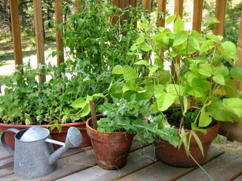 Frutas y verduras para cultivar en macetas 2