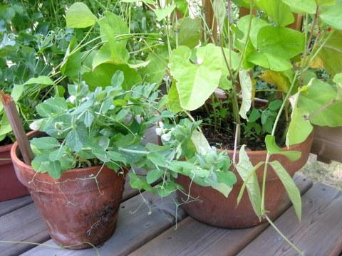 Frutas y verduras para cultivar en macetas 3