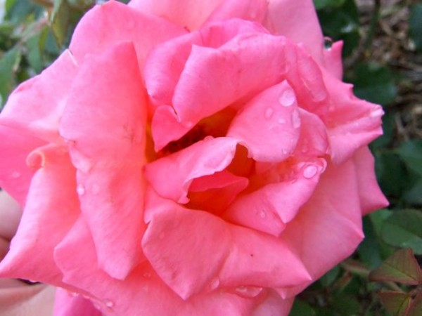 Consejos para cuidar tus rosas 1