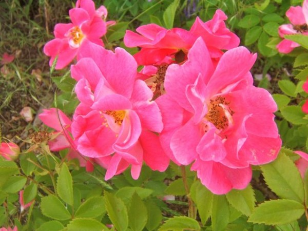 Consejos para cuidar tus rosas 2