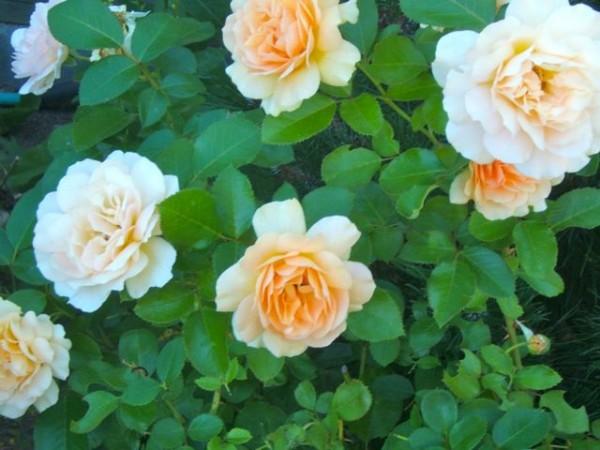 Consejos para cuidar tus rosas 3