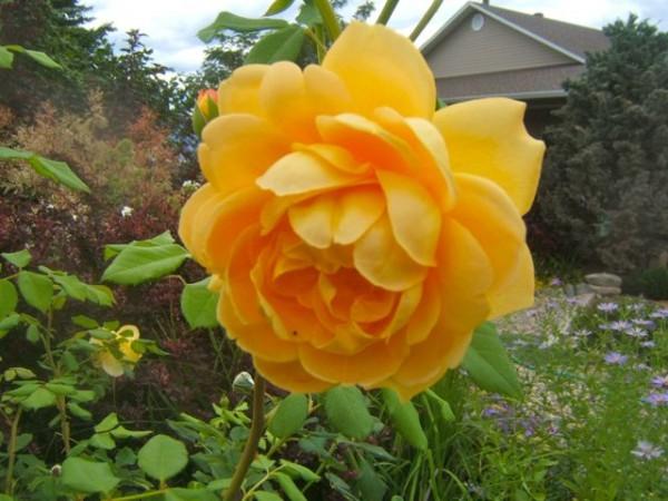 Consejos para cuidar tus rosas 4