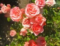 imagen 6 consejos para tener rosas saludables