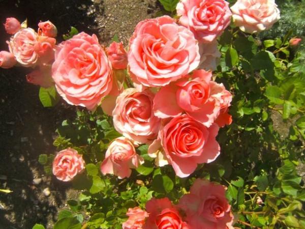 Consejos para cuidar tus rosas 5