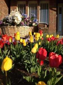 Cultivo de tulipanes 2