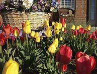 imagen 9 consejos para el cultivo de tulipanes