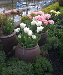 Cultivo de tulipanes 3