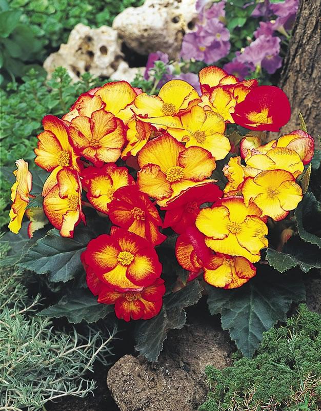 Begonia_PinUpFlame