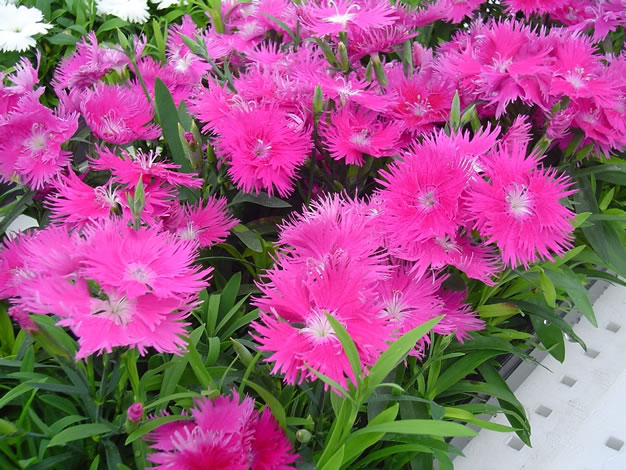 Dianthus_Supra Purple 2