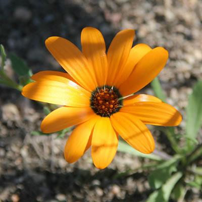 Dimorphotheca calendulacea-1
