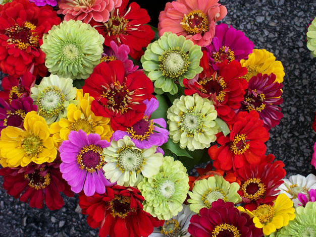 Zinnia_bunch