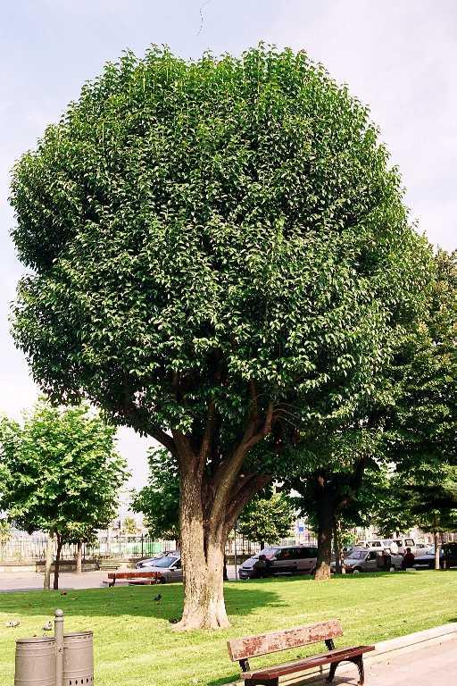 Acacia negra 1