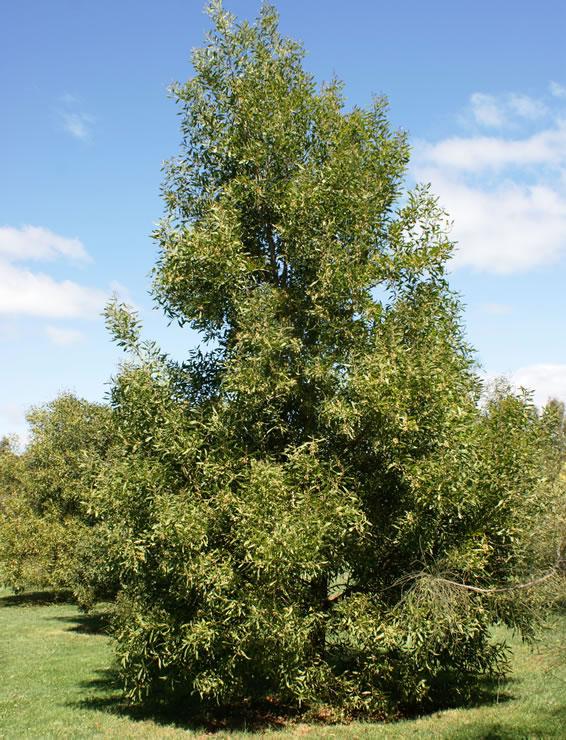 Acacia negra 5