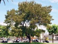 imagen Qué es y cómo se cultiva la acacia negra o palo prieto