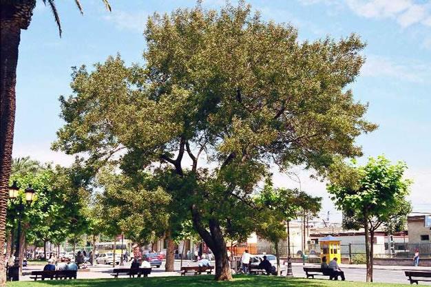 Acacia negra 6