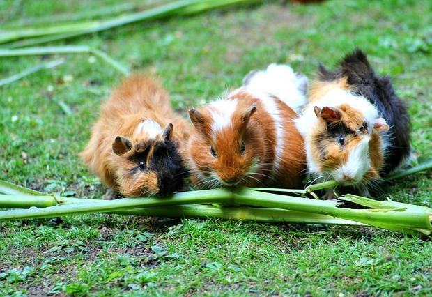 Hierbas para roedores 3