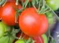 imagen Cómo cultivar tomates desde esquejes