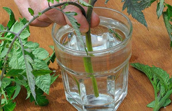 Cultivo de tomate por esqueje 3