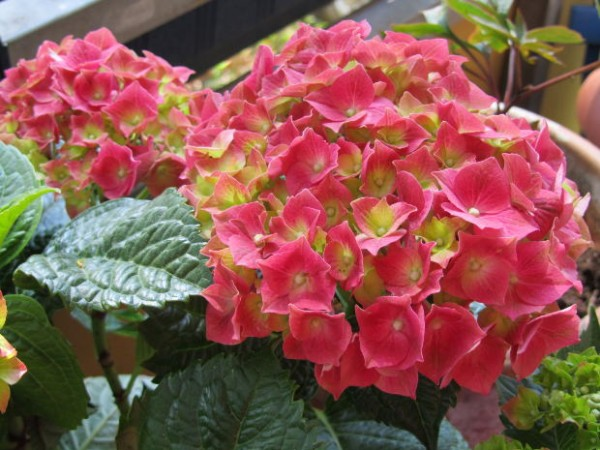 Cultivo de hortensias 1