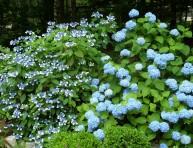imagen Consejos básicos para cultivar hortensias