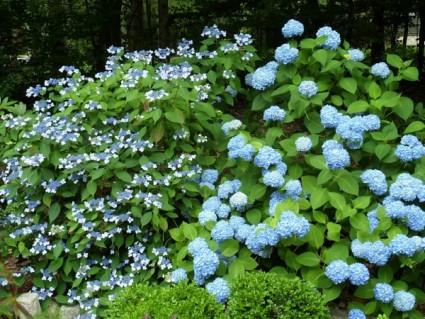 Consejos b sicos para cultivar hortensias - Variedades de hortensias ...
