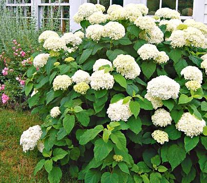 Cultivo de hortensias 5