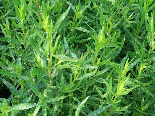 Plantas arom ticas en maceta el estrag n for Plantas aromaticas en macetas