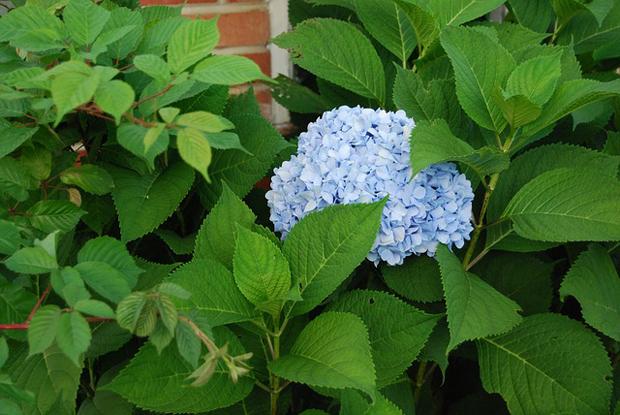 Plagas y enfermedades hortensia 2