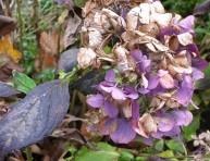 imagen Daños habituales en las hojas de la hortensia