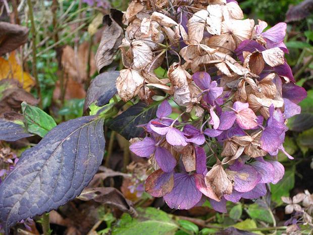hojas de las hortensias