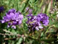 imagen Cómo cultivar alfalfa en maceta o jardín