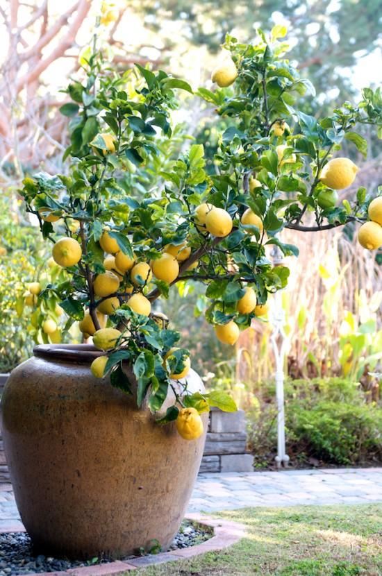 Cultivo del limonero en maceta 1