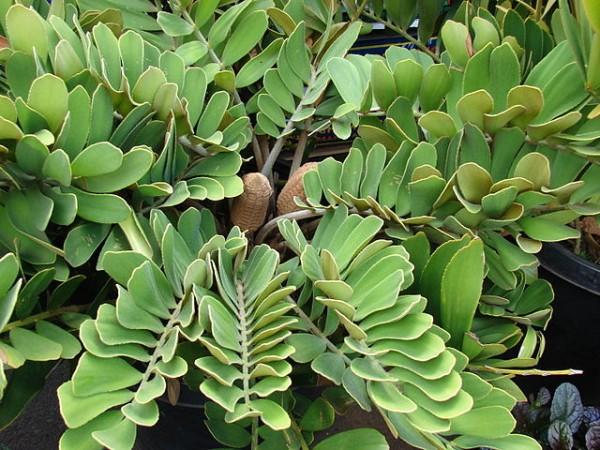 Cultivo y cuidados de la zamia for Planta ornamental zamia