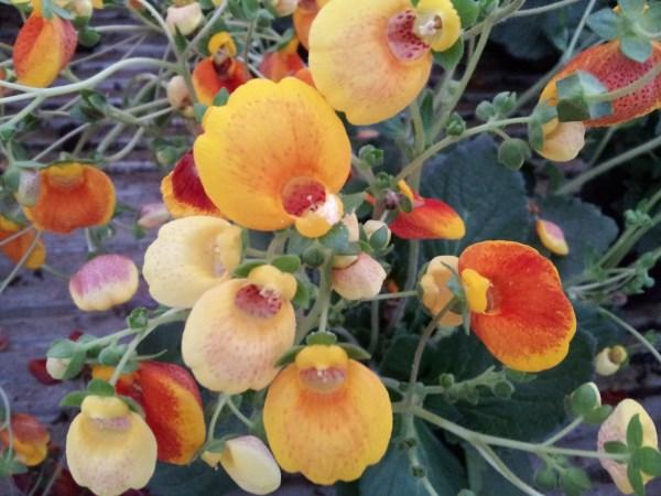 Calceolaria o zapatito de venus 1