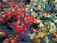 imagen El cultivo de la Calceolaria o Zapatito de Venus