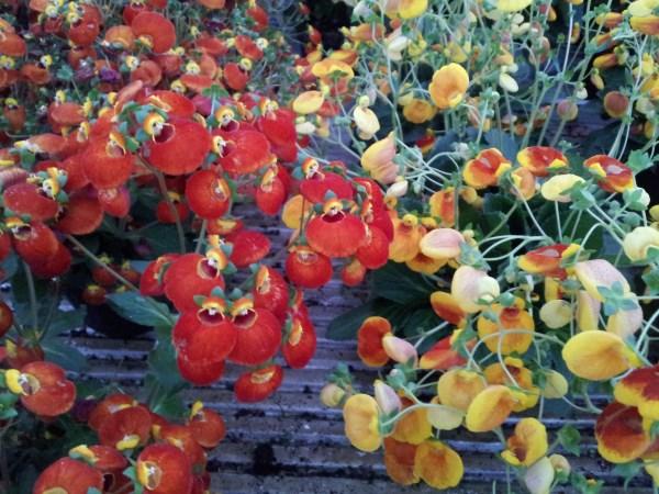 Calceolaria o zapatito de venus 3