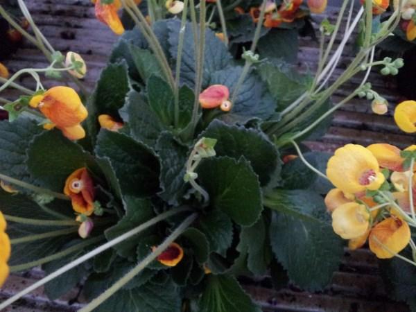 Calceolaria o zapatito de venus 4
