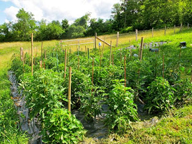 5-formas-de-tutorar-tomates-2