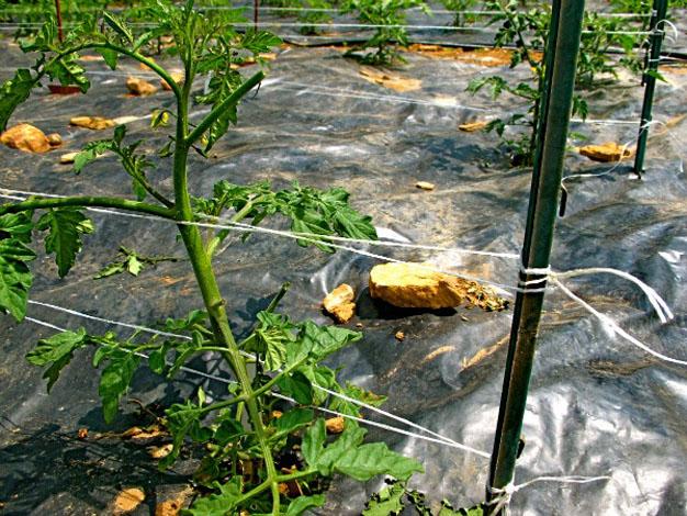 5-formas-de-tutorar-tomates-3