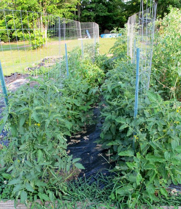 5-formas-de-tutorar-tomates-5