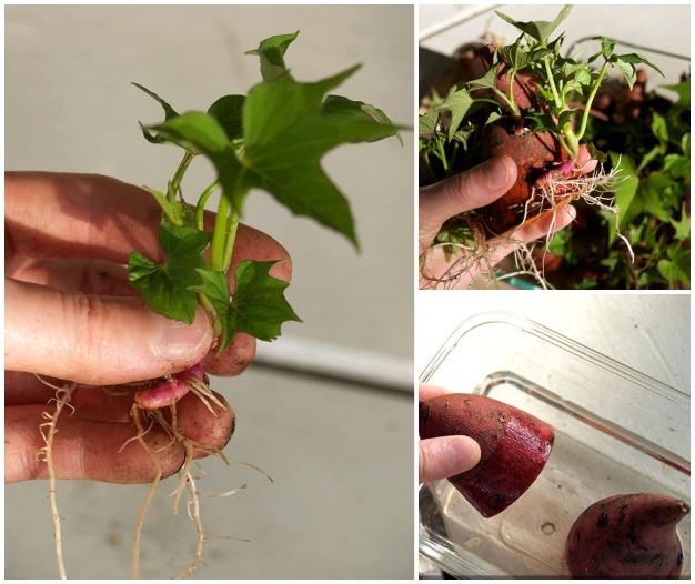 cultivo de batata