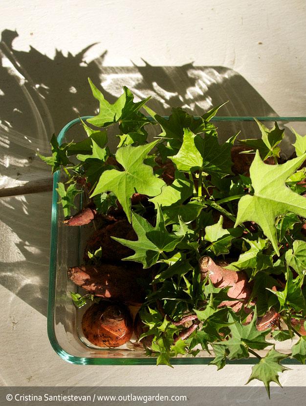 como-cultivar-batata-4
