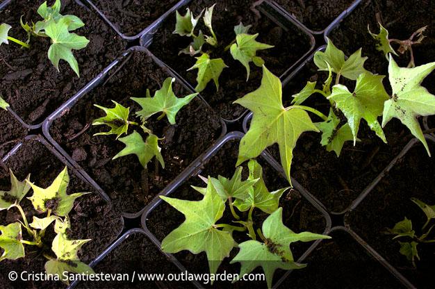 como-cultivar-batata-7