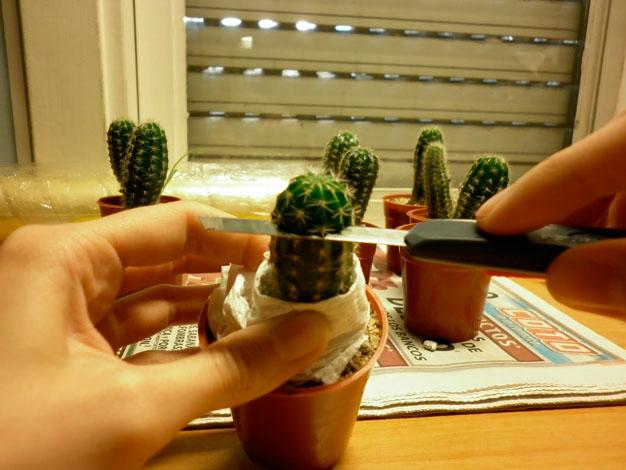 Paso a paso injerto de cactus - Composiciones de cactus ...