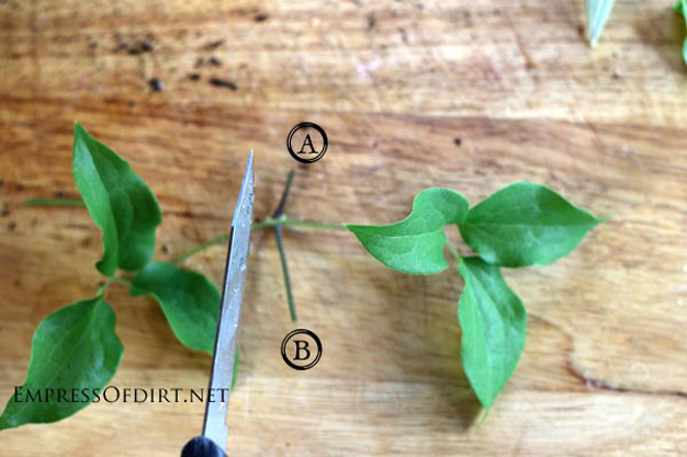 como-propagar-clematides-por-esquejes-3