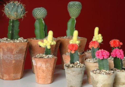 Cactus guia de jardineria jardines y plantas for Como plantar cactus